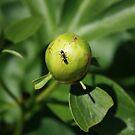 Peony ant by Keeawe