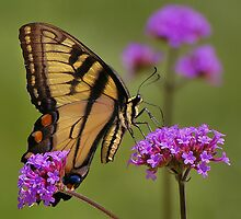 Tiger Swallowtail Butterfly by mountain4pam