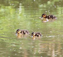 Mallard Ducklings by jboffinphoto