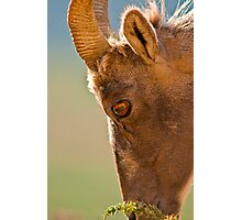 Bighorn Portrait Photographic Print