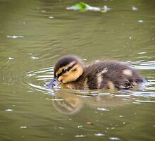 Duckling Swimming by jboffinphoto