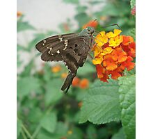 Long-tailed Blue Skipper in Red Lantana Photographic Print