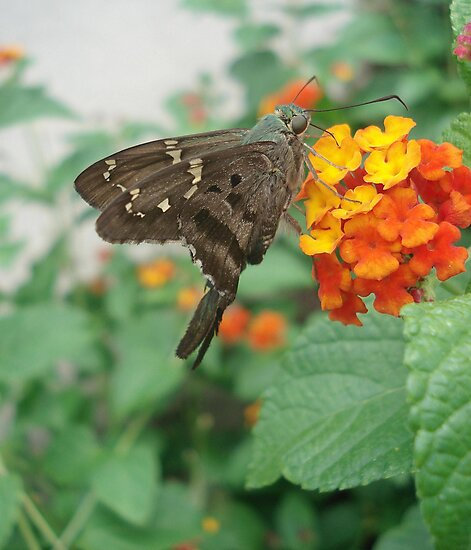 Long-tailed Blue Skipper in Red Lantana by May Lattanzio