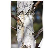 silver birch bark Poster
