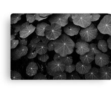 Nasturtium Leaves Canvas Print