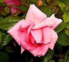 Pink Rose by Vickie Emms