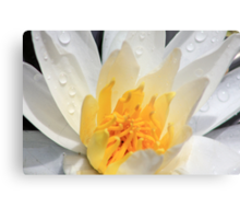 *WHITE FRAGRANT WATER LILY* Metal Print