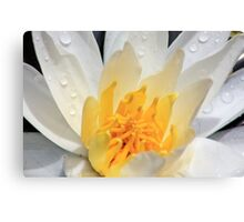 *WHITE FRAGRANT WATER LILY* Canvas Print
