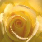 Chiffon Rose by sundawg7
