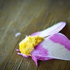Rosy Maple Moth by LeeAnne Emrick