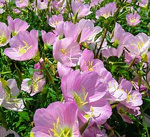 Pink Evening Primrose by dm-photography
