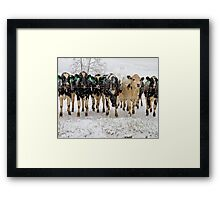 snow covered cows Framed Print