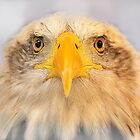 Bald Eagle by Anthony Hedger Photography