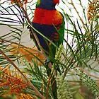 Rainbow Lorikeet by Tony Waite