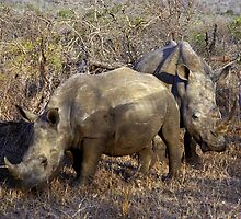 White Rhino - (Ceratotherium simum) Swaziland by Bev Pascoe