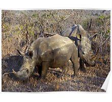 White Rhino - (Ceratotherium simum) Swaziland Poster