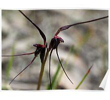 Mayfly Orchid (Acianthus caudatus) Poster