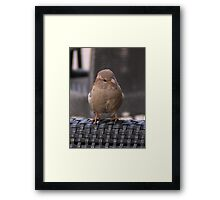 House Sparrow  Framed Print