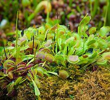 Venus flytrap by Jaime Pharr