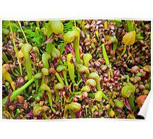 Cobra liliy pitcher plants Poster