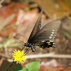 Hovering Butterfly by Rick  Friedle