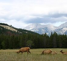 Jasper Elk by Alyce Taylor