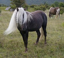 Grayson Highlands Pony by bcollie