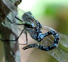 Canada Darner With Curled Tail by Wolf Read