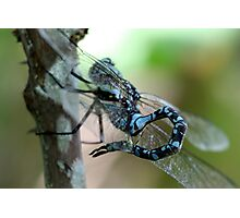 Canada Darner With Curled Tail Photographic Print