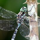 Canada Darner Up Close by Wolf Read