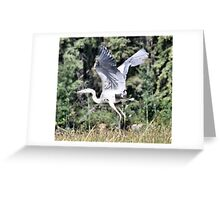 Immature Great Blue Heron Greeting Card