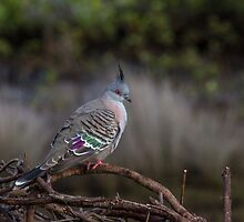 Crested Pigeon by JLOPhotography