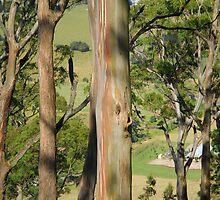 Gum Trees on Mount Buninyong by AusDisciple