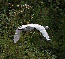 Swan in Flight by LisaRoberts