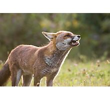Backlit Fox Photographic Print