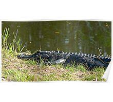 Alligator in grass Poster