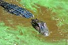 Alligator in green slime by Larry  Grayam