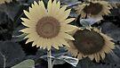 Sunflowers 09 I by PJS15204