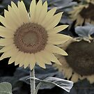 Sunflowers 09 I by PJS15204