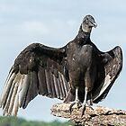 Black Vulture by Eivor Kuchta