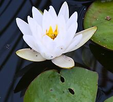 Firehole Waterlily by Andrew Stockwell