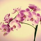 Orchid Delight by Colleen Farrell