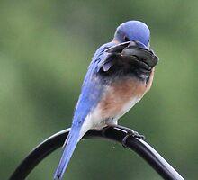 Shy Bluebird by Sheryl Hopkins
