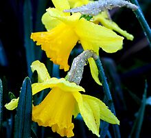 Daffodils and droplets  by Lozzar Flowers & Art
