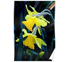Daffodils and droplets  Poster