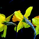 Daffodil Frosting by Lozzar Flowers & Art