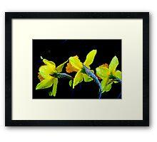 Daffodil Frosting Framed Print