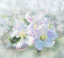 Apple Blossoms by vigor