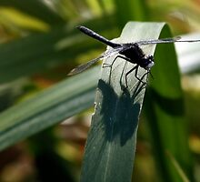 Dot-Tailed Whiteface Sunning Itself on Grass Leaf by Wolf Read