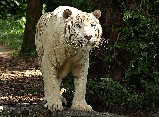 "White Tiger ""Omar"" by Bev Pascoe"